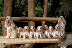 Familie van Engelse Cocker-spaniël met klein puppy Royalty-vrije Stock Afbeelding