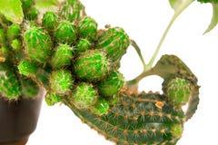 Familie van groene cactus Stock Afbeelding