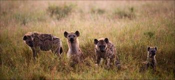 Familie van hyena's. Stock Afbeeldingen