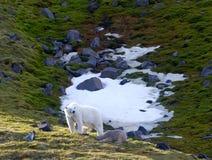 Familie van ijsberen op Northbrook-eiland Franz Josef Land Royalty-vrije Stock Fotografie