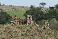 Familie van Jachtluipaarden Royalty-vrije Stock Foto