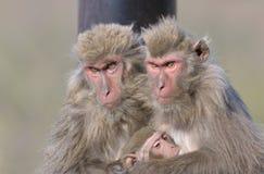 Familie van Japanse apen royalty-vrije stock fotografie