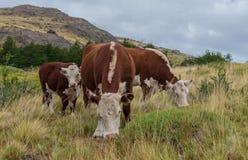 Familie van koeien die in de middag weiden stock afbeelding