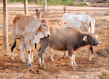 Familie van koeien en waterbuffel Stock Foto