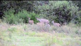 Familie van kuduantilope stock video