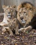 Familie van leeuw stock foto's