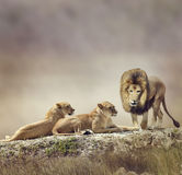 Familie van leeuwen stock afbeeldingen