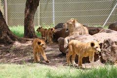 Familie van leeuwen Stock Foto