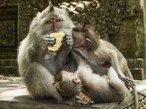Familie van Macaques Met lange staart Royalty-vrije Stock Foto's
