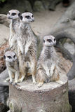 Familie van meerkat royalty-vrije stock foto's