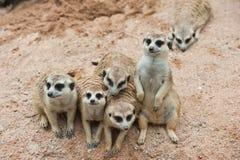 Familie van Meerkats Stock Foto's