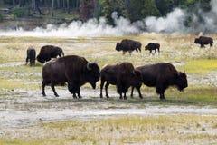 Familie van Noordamerikaanse Buffels dichtbij de hete lentes in Geel Stock Afbeelding