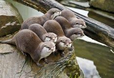 Familie van otters Royalty-vrije Stock Afbeeldingen