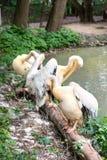 Familie van pelikanen op meer Stock Fotografie
