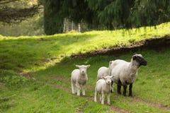 Familie van schapen op een landbouwbedrijf Een ooi en drie lammeren royalty-vrije stock afbeelding