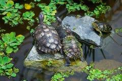 Familie van schildpadden in vijver Aard, familie, verhoudingsthema Stock Foto's