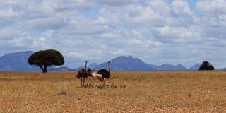 Familie van struisvogels in Afrika Royalty-vrije Stock Fotografie