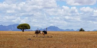 Familie van struisvogels in Afrika Stock Foto's