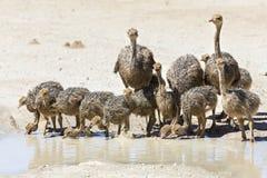 Familie van struisvogels drinkwater van een pool in hete zon van Stock Fotografie