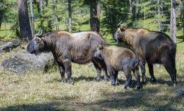 Familie van takin, nationaal dier van Bhutan royalty-vrije stock foto's