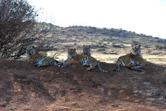 Familie van tijgers Stock Foto