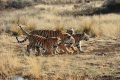 Familie van tijgers Royalty-vrije Stock Afbeeldingen
