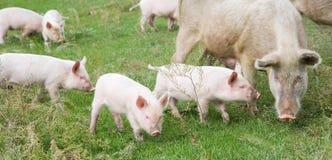 Familie van varkens royalty-vrije stock afbeelding