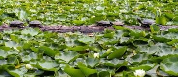 Familie van westelijke geschilderde schildpadden die op een logboek zonnebaden Stock Fotografie