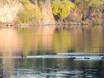 Familie van wilde eenden die in de de herfstvijver zwemmen stock afbeeldingen