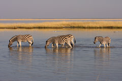 Familie van zebras Stock Foto