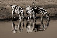 Familie van zebras Stock Foto's