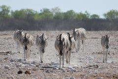 Familie van Zebras op hun manier aan waterhole Stock Afbeeldingen