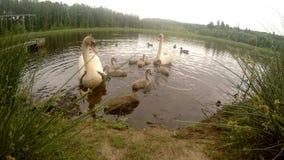 Familie van zwanen in de vijver stock footage