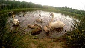 Familie van zwanen in de vijver stock videobeelden