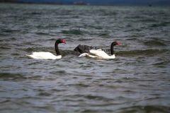 Familie van zwarte necked zwaan Royalty-vrije Stock Foto