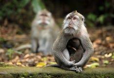Familie von Affen Stockfotografie