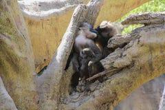 Familie von Affen auf Baum Lizenzfreies Stockfoto