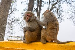 Familie von Affen auf einem gelben Steinzaun Stockfotos