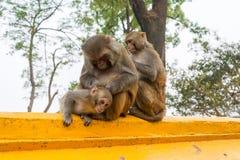 Familie von Affen auf einem gelben Steinzaun Lizenzfreie Stockfotografie
