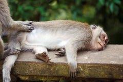 Familie von Affen im Tempel-Park, Bali Lizenzfreies Stockbild