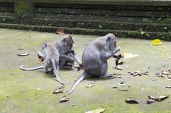 Familie von Affen langschwänzigen Makakenmacaca fascicularis im Sangeh-Affe-Wald in Bali, Indonesien Stockbilder