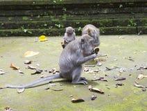 Familie von Affen langschwänzigen Makakenmacaca fascicularis im Sangeh-Affe-Wald in Bali, Indonesien Stockfoto