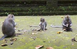 Familie von Affen langschwänzigen Makakenmacaca fascicularis im Sangeh-Affe-Wald in Bali, Indonesien Lizenzfreies Stockbild