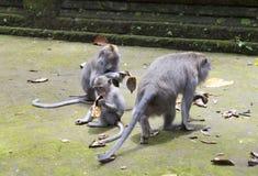 Familie von Affen langschwänzigen Makakenmacaca fascicularis im Sangeh-Affe-Wald in Bali, Indonesien Lizenzfreie Stockfotos