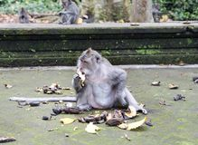 Familie von Affen langschwänzigen Makakenmacaca fascicularis im Sangeh-Affe-Wald in Bali, Indonesien Stockbild
