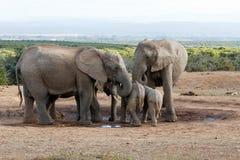 Familie von Afrikaner-Bush-Elefanten, der ihre Junge schützt Lizenzfreie Stockfotos