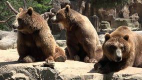 Familie von Braunbären stock footage