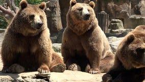 Familie von Braunbären stock video