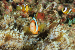 Familie von Clownfish Lizenzfreie Stockfotografie