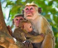 Familie von den Affen, die in einem Baum sitzen Lustige Abbildung Sri Lanka Lizenzfreie Stockbilder